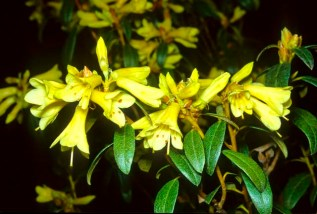Yellow Hammer Rhododendron